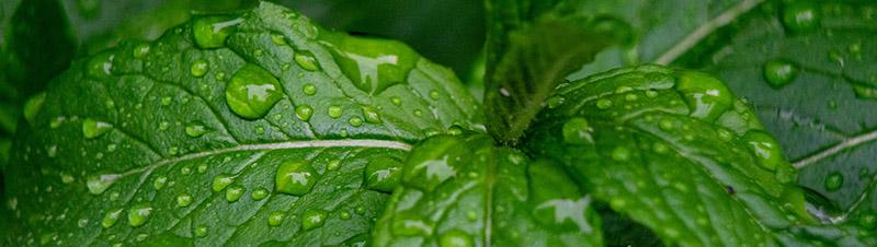 feuille de menthes vertes