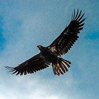 aigle royal eliquide black eagle flavor hit