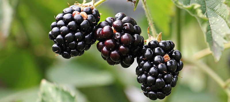 mûre sauvage eliquide iceberry flavor hit