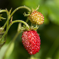 fraise sauvage eliquide red velvet flavor hit