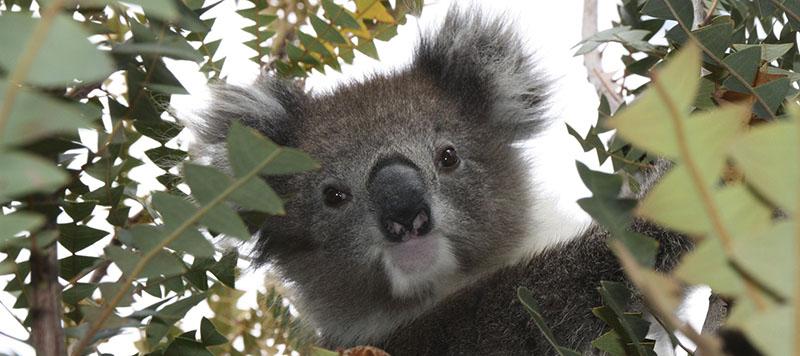 koala eliquide koala's kiss flavor hit