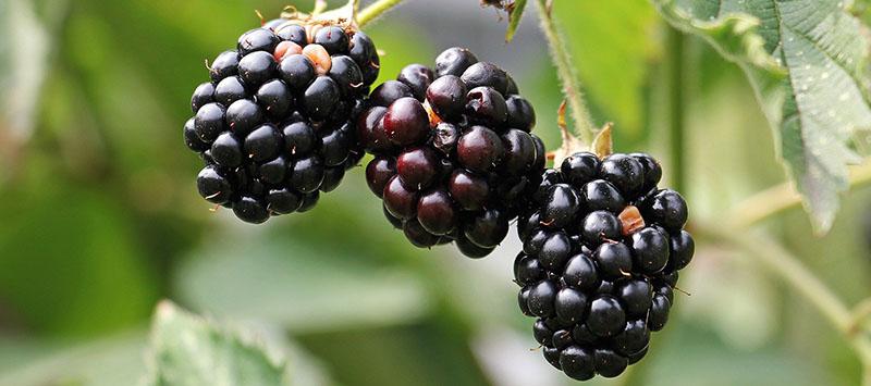 mûre sauvage eliquide iceberry